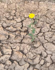 A yellow flower blooming from within an arid land